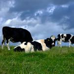 Вече няма да ядем месо от клонирани животни