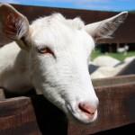 Полезното козе сирене