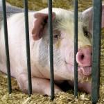 Няма риск от заразяване със свински грип в България