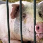 Свинският грип е по-малко опасен, отколкото се предполагаше в началото