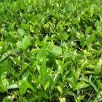 Спрей от зелен чай срещу рак на кожата