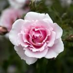 Розово масло за здраве