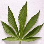 Разшифроват генома на марихуаната