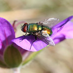 Лекуват рани от диабет с личинки на насекоми
