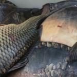 Избрани здравословни рецепти за рибник с шаран