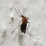 Комарите предпочитат хората с по-топла кръв