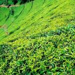 Екстракт от зелен чай срещу рак
