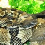 Отрова от гърмяща змия лекува рак на кожата
