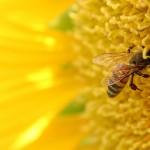 Пчелна отрова срещу ХИВ
