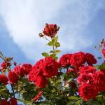 Цветя за зодия Овен