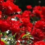 Песни за рози