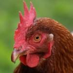 Създадоха ваксина срещу птичи грип