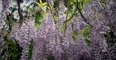 майски храст