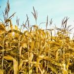Какво ГМО е разрешено в ЕС?