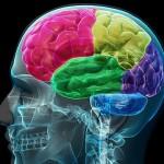 Умът не зависи от размера на мозъка
