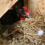 ГМО кокошки снасят лек за рак