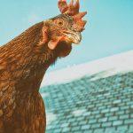 Откриха огнище на птичи грип в Северна България