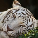 Музикални клипове с тигри