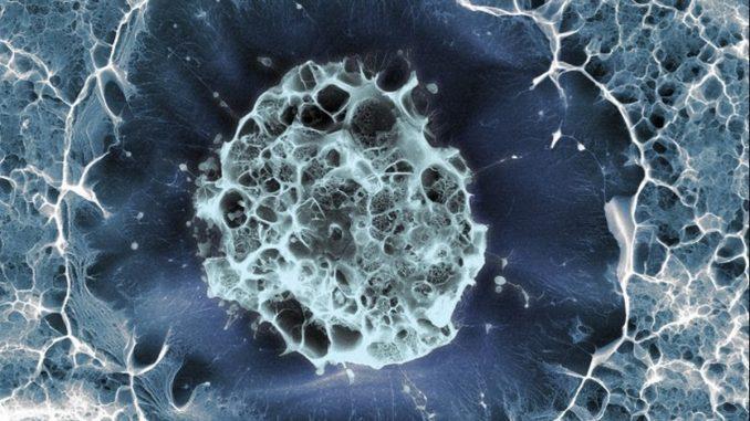 човешка стволова клетка