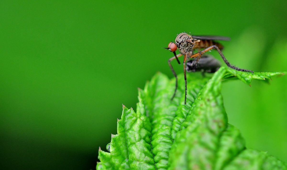 комар в градина